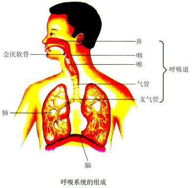 正常人体鼻腔结构图人体的呼吸
