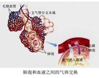 肺部解剖结构图