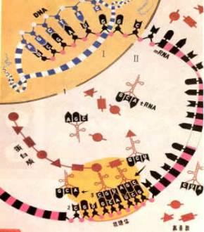 (3)制作dna分子的平面结构模型和立体结构模型
