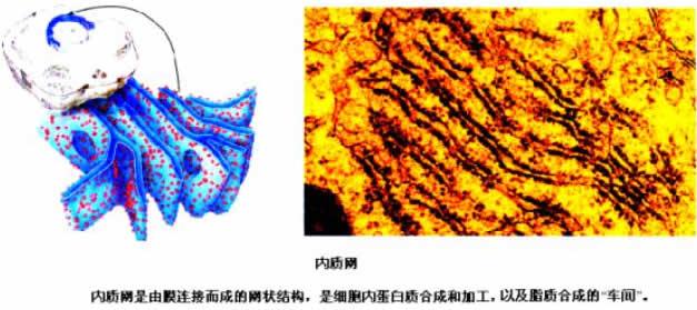 (三)几种主要细胞器的结构和功能