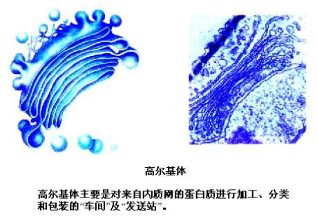 高尔基体,线粒体,叶绿体,溶酶体等细胞器膜和细胞膜及核膜等结构,共同