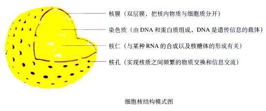 一周强化 一、一周知识概述 1、细胞膜的成分和功能; 2、几种主要细胞器的结构和功能; 3、细胞膜系统的结构和功能; 4、细胞核的结构和功能。 二、重难点讲解 (一)细胞膜的成分 1、细胞膜的制备   把人或其他哺乳动物成熟的红细胞放在清水里,细胞胀破后细胞内物质流出,细胞膜和细胞质中的其他结构质量不一样,可以采用不同转速离心的方法将细胞膜与其他物质分开,得到较纯的细胞膜。   思考: